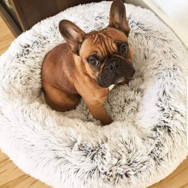 Frenchie in a fluffy dog bed