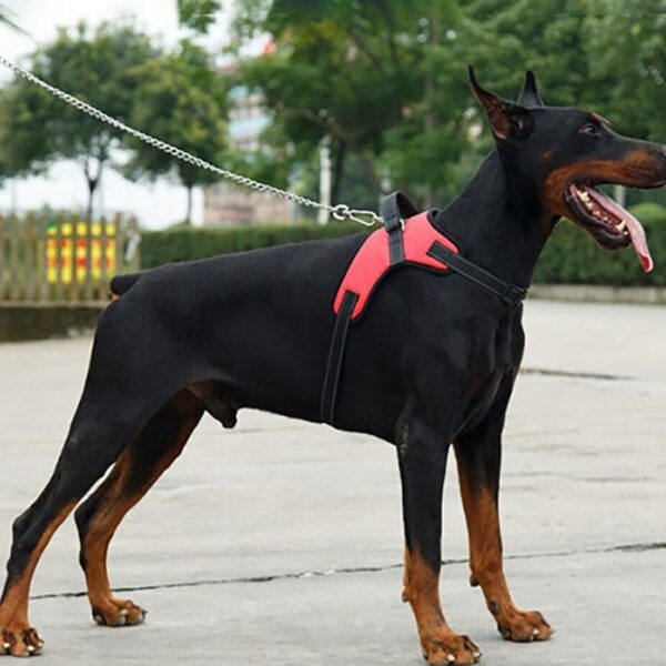 Doberman with a red dog harness