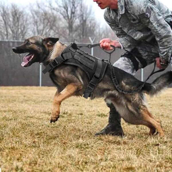 German Sheppard with tactical dog vest