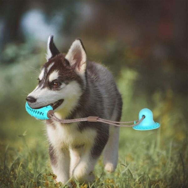 Husky Dog Playing with suction cup dog toy