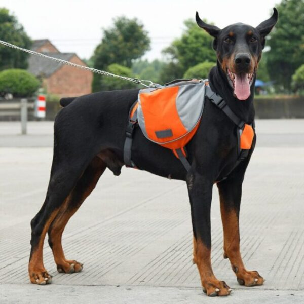 Doberman wearing a dog saddle bags