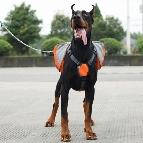 Doberman wearing a dog backpack harness