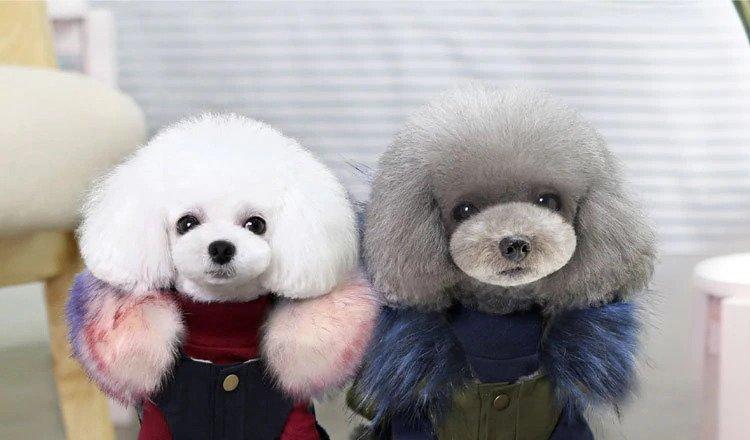 2 poodles wearing dog coats
