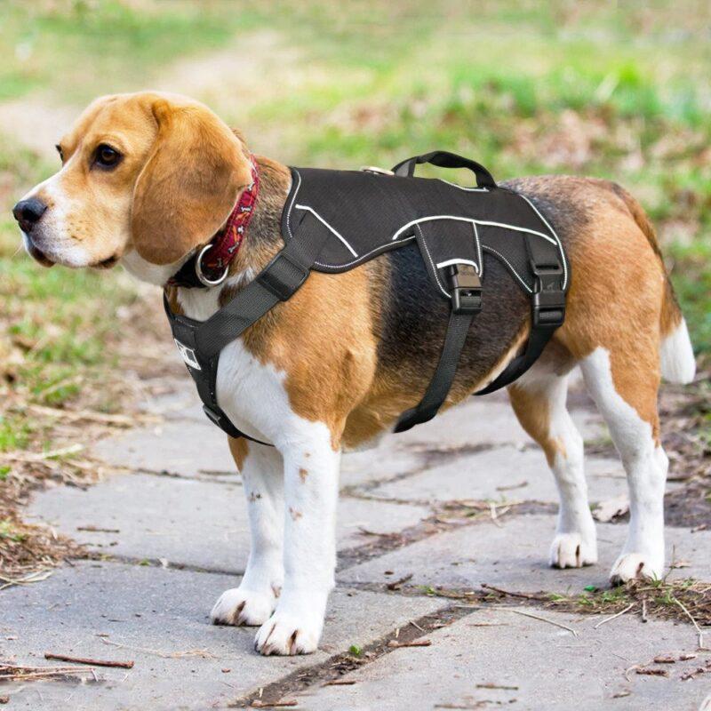 Beagle wearing a black reflective nylon dog harness