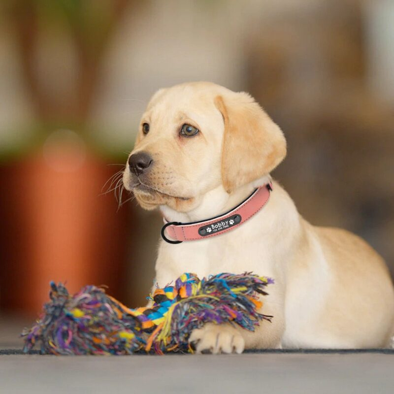 Cute Labrador puppy wearing a pink leather dog collar