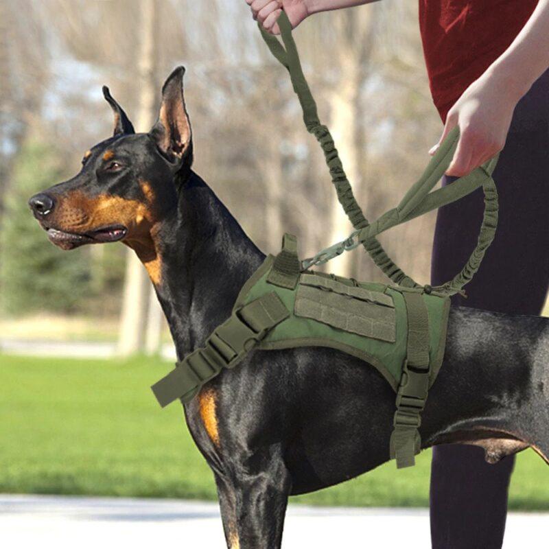 Doberman wearing a tactical dog harness