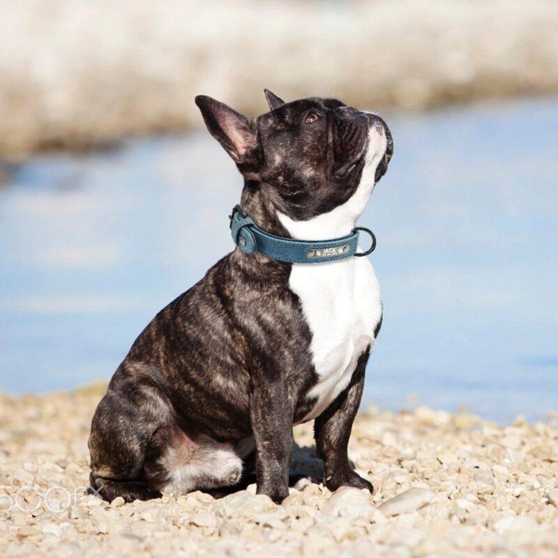 French Bulldog wearing a custom dog collar