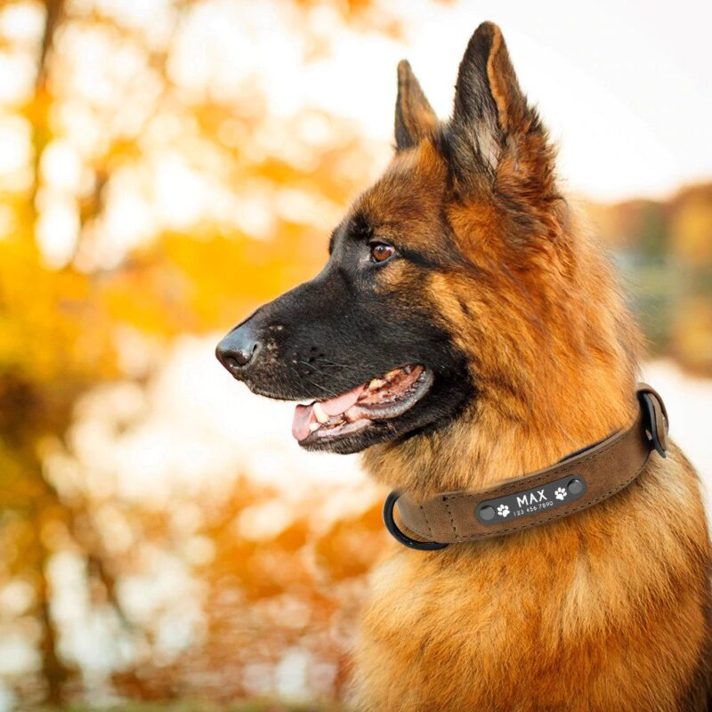 German Shepard wearing a personalized dog collar