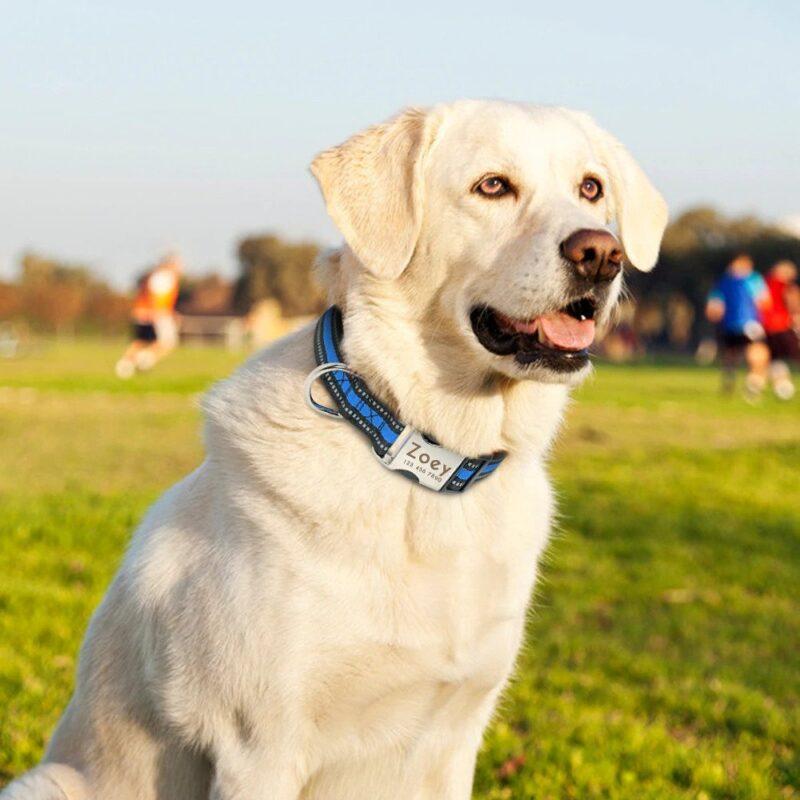 Labrador wearing a custom dog collar